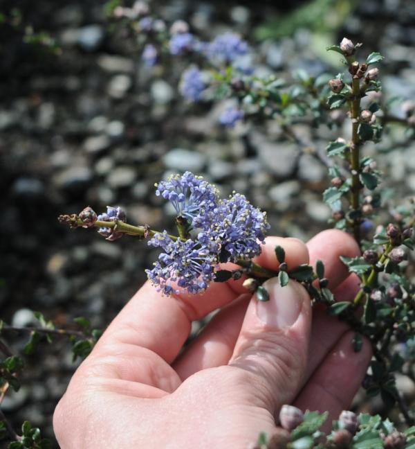 Ceanothus gloriosus 'Mt. Vision' flower