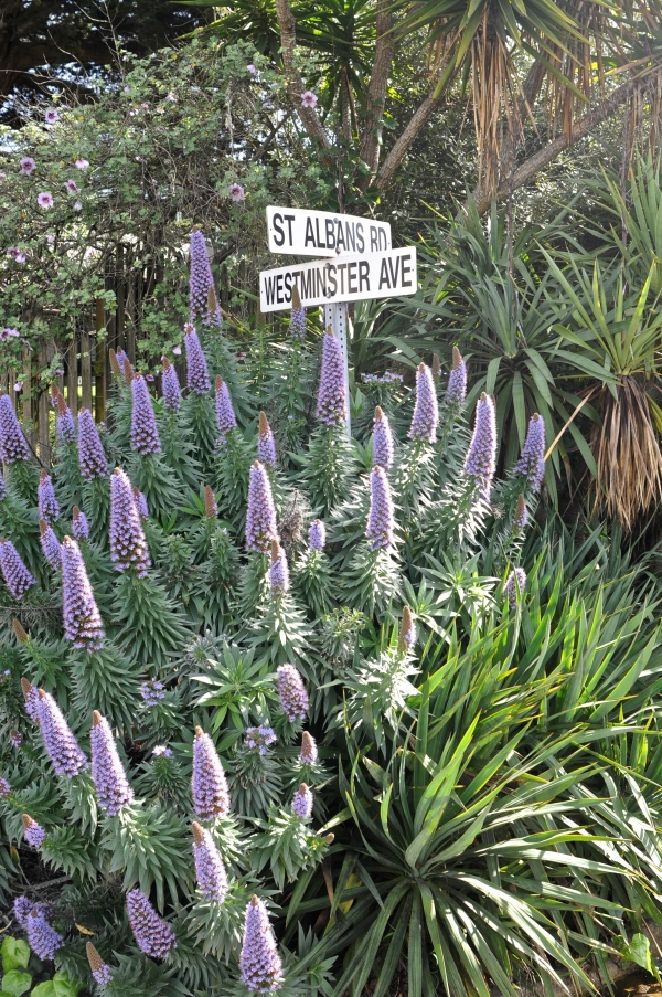 Echium Westminster and St. Albians