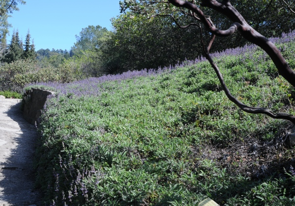 Salvia sonomensis blooming