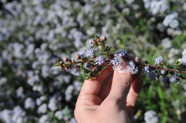 Ceanothus confusus flower bud