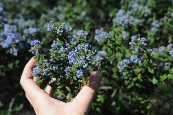 Ceanothus impressus blooming, leaf, flower