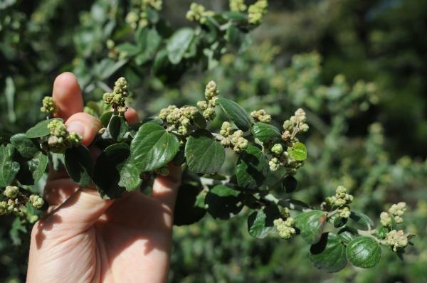 Ceanothus incanus, leaf, bud