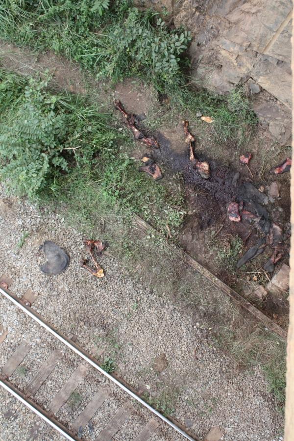 Railroad elephant carnage, Gabon