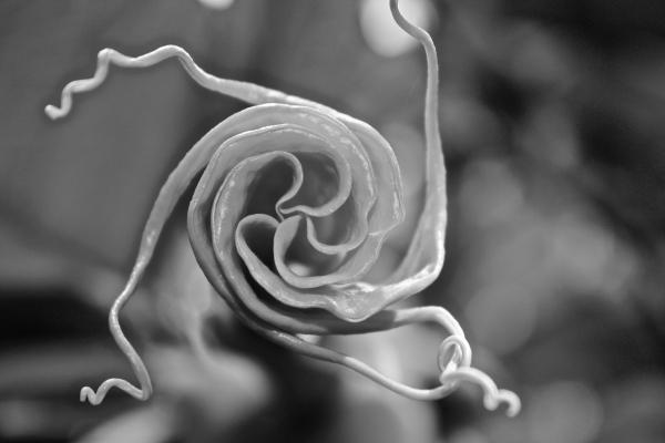 Solanaceae, Brugmansia aurea, flower opening