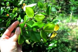 Eugenia reinwardtiana leaf