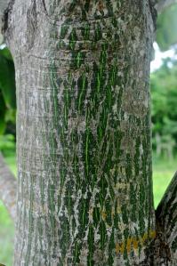 Pseudobombax ellipticum trunk