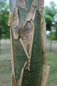 Jatropha chamelensis bark