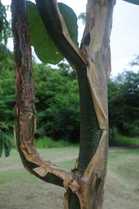 Jatropha chamelensis branching