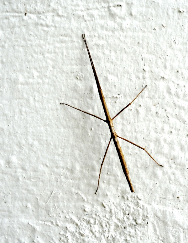 Stickbug, Mexico