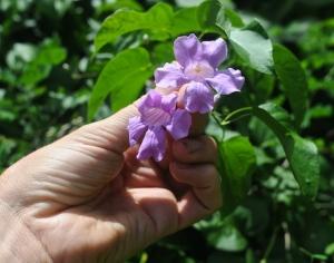 Bignoniaceae flower vine Jalisco
