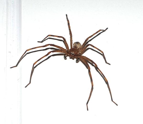 Spider, jalisco